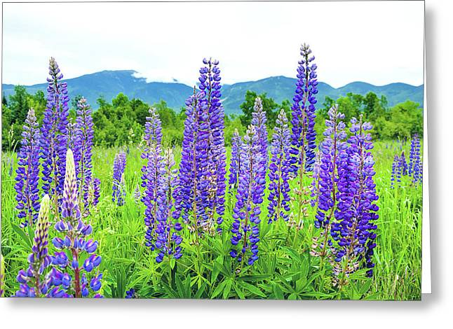 Field Of Purple Greeting Card by Greg Fortier