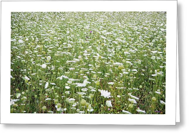 Field Of Queen Annes Lace Greeting Card