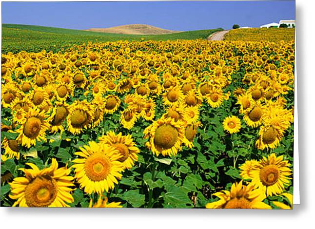 Field Of Sunflowers Near Cordoba Greeting Card by Panoramic Images