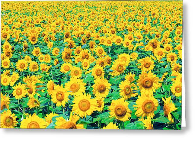 Field Of Sunflowers Greeting Card by Panoramic Images