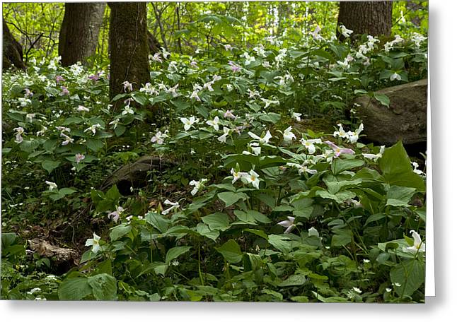 Field Of Trillium 2833 Greeting Card by Peter Skiba