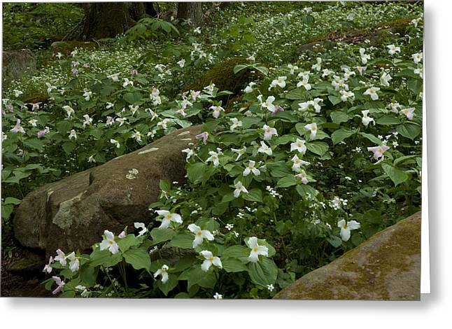 Field Of Trillium 2841 Greeting Card by Peter Skiba