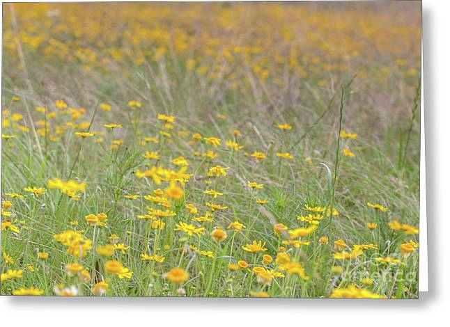 Field Of Yellow Flowers In A Sunny Spring Day Greeting Card