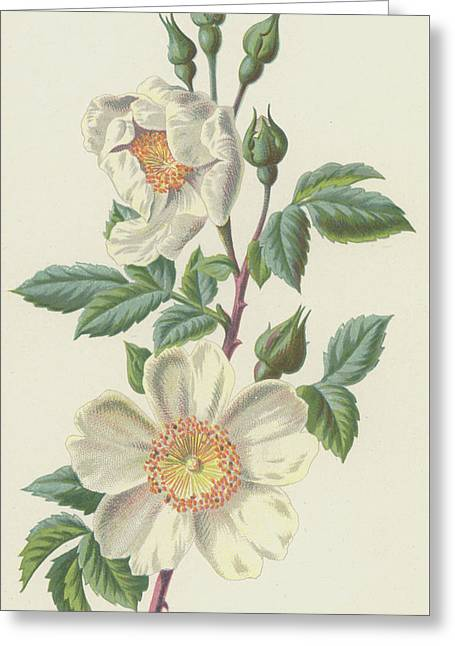 Field Rose Greeting Card