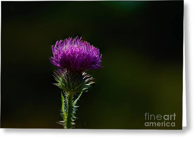 Field Thistle Greeting Card