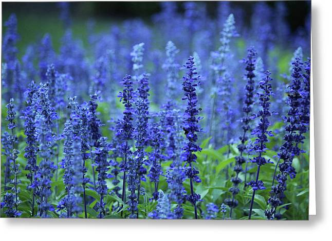 Fields Of Blue Greeting Card by Rowana Ray