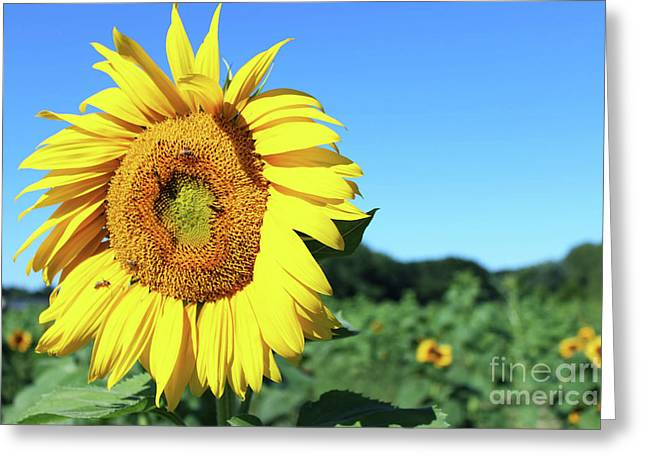Fields Of Sunshine Greeting Card by Elaine Nadon