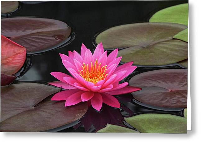 Fiery Beauty Of A Waterlily Greeting Card by Byron Varvarigos