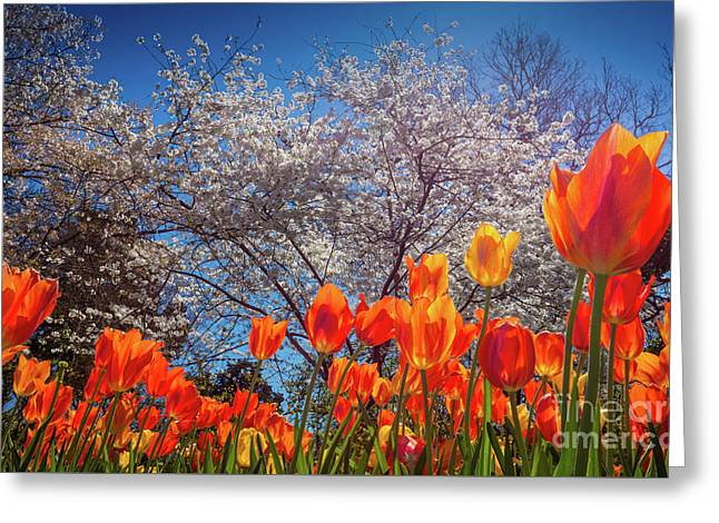 Fiery Tulips Greeting Card by Inge Johnsson
