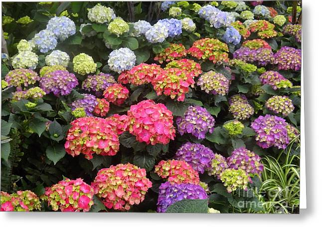 Fifty Shades Of Hydrangea Greeting Card by Lingfai Leung