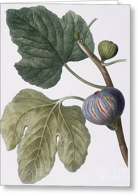 Fig Greeting Card by Pierre Joseph Redoute