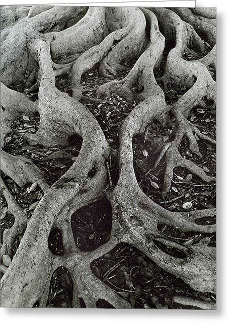 Fig Tree Roots Greeting Card by John Gilroy