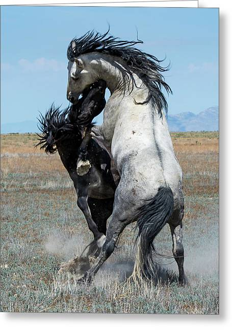 Fighting Black And Gray Stallions Greeting Card by Mary Hone