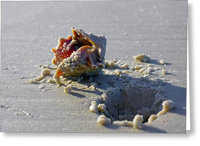 Fighting Conch On The Beach Greeting Card by Robb Stan