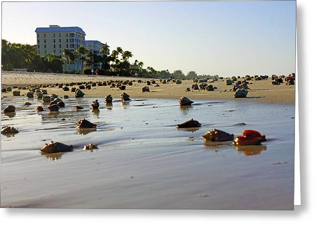 Fighting Conchs At Lowdermilk Park Beach In Naples, Fl  Greeting Card by Robb Stan