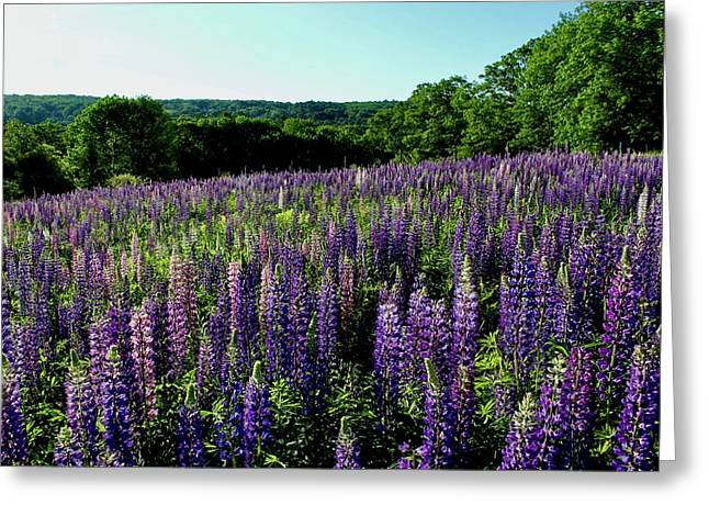 Filed Of Lupines 2 Greeting Card