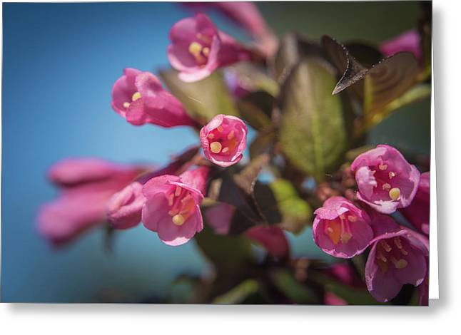 Greeting Card featuring the photograph Fine Wine Weigela by William Lee