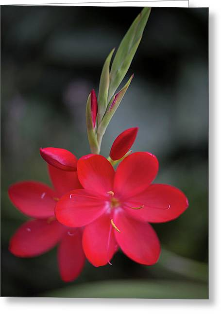 Fire Lily 2 Greeting Card