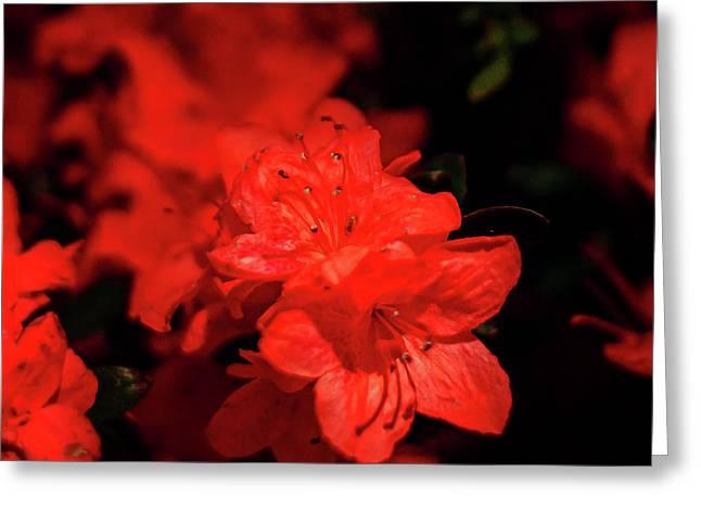 Fire Red Azaleas Greeting Card