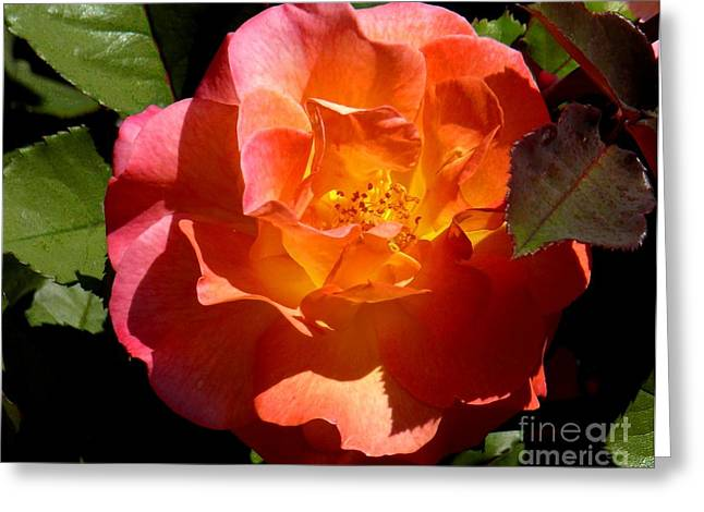 Fire Rose Greeting Card by Terri Thompson