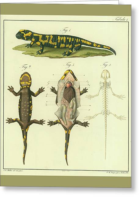 Greeting Card featuring the drawing Fire Salamander Anatomy by Christian Leopold Mueller