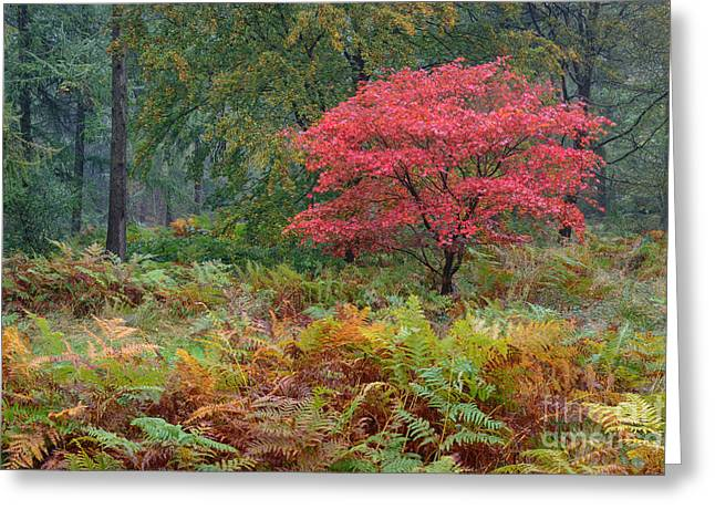 Fireball Alice Holt Forest Greeting Card by Richard Thomas