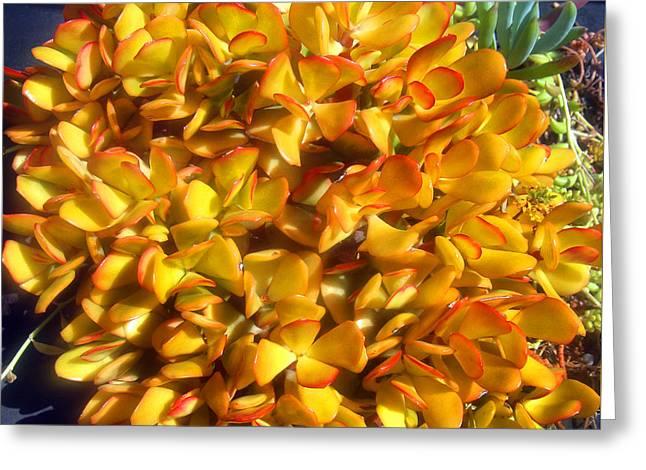 Fireball - Yellow Orange Crassula Plant Greeting Card