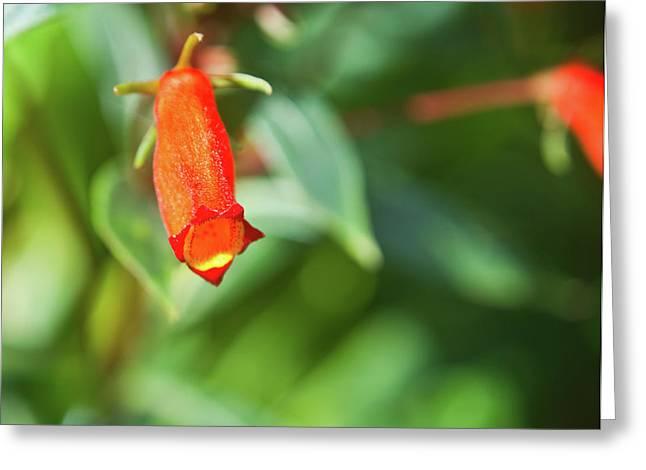 Firecracker Blossom Greeting Card