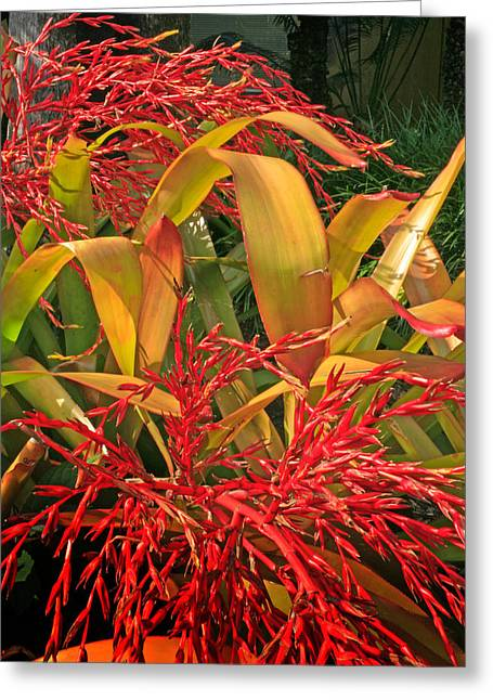 Bromeliad Greeting Cards - Firecracker Bromeliad Greeting Card by Stephen Mack