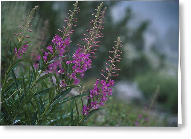 Fireweed In Hailstorm Greeting Card
