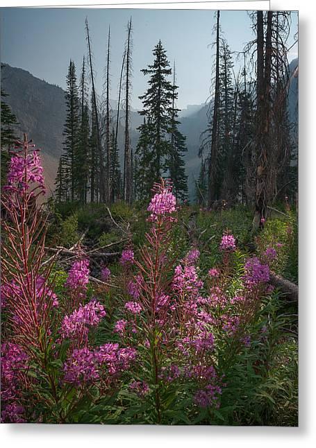 Fireweed Sunrise // Bob Marshall Wilderness  Greeting Card