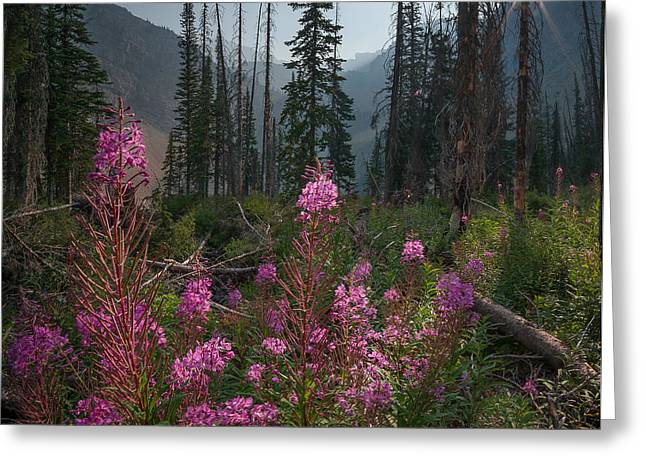 Fireweed Sunrise // Bob Marshall Wilderness  Greeting Card
