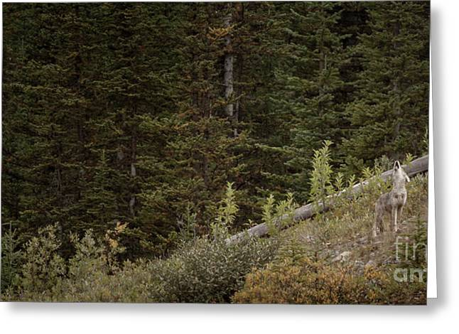 Greeting Card featuring the photograph First Howl by Brad Allen Fine Art