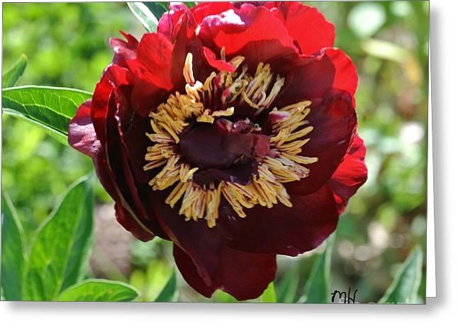 First Peony Bloom Greeting Card by Marsha Heiken