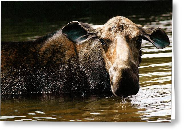 First West Branch Pond Moose Greeting Card