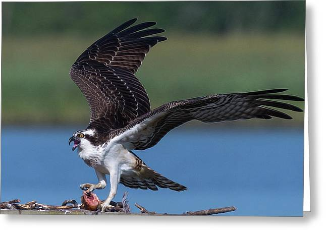 Greeting Card featuring the photograph Fish For The Osprey by Cindy Lark Hartman