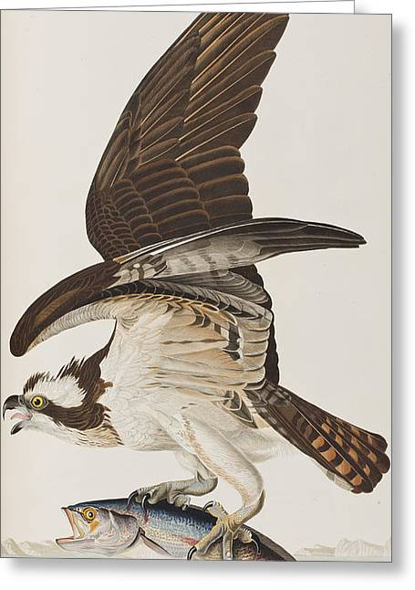 Fish Hawk Or Osprey Greeting Card by John James Audubon