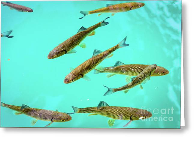 Fish School In Turquoise Lake - Plitvice Lakes National Park, Croatia Greeting Card