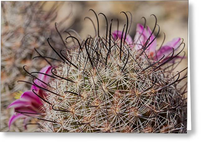 Fishhook Cactus Greeting Card by Jean Noren