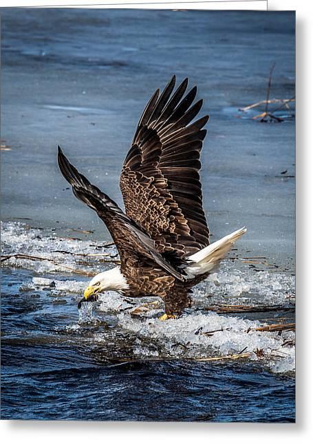 Fishing Bald Eagle Greeting Card by Paul Freidlund