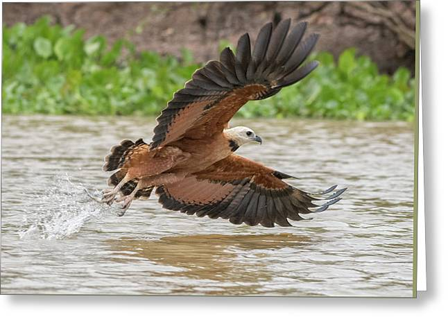 Greeting Card featuring the photograph Fishing Hawk by Wade Aiken