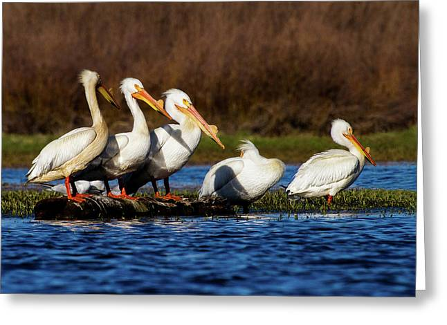 Five American White Pelicans Greeting Card by TL Mair