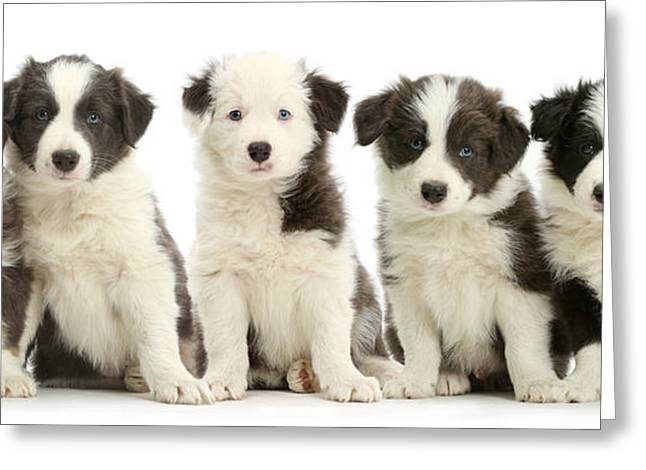 Five Border Collie Puppies Greeting Card by Mark Taylor