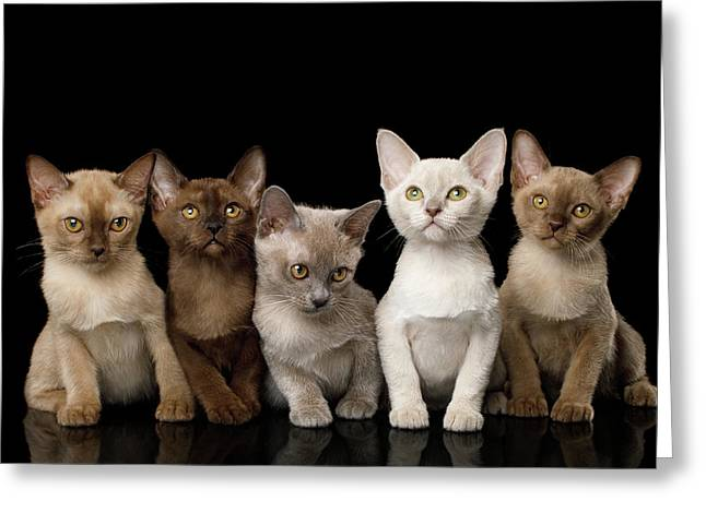 Five Burmese Kittens Greeting Card