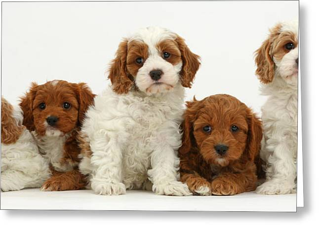 Five Cavapoo Puppies Greeting Card by Mark Taylor