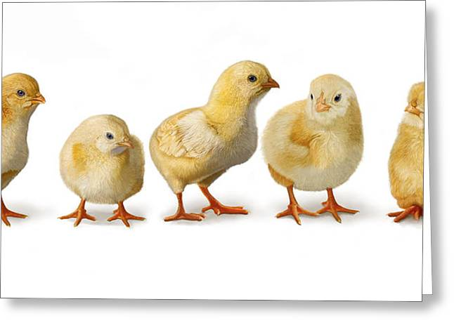 Greeting Card featuring the digital art Five Chicks In A Row by Bob Nolin