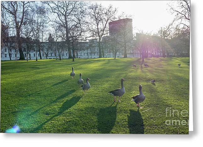 Five Ducks Walking In Line At Sunset With London Museum In The B Greeting Card