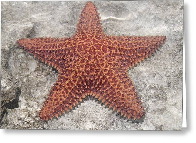 Five Star Fish Greeting Card by Betsy Knapp