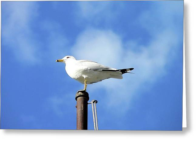 Flagpole Gull Greeting Card by Al Powell Photography USA