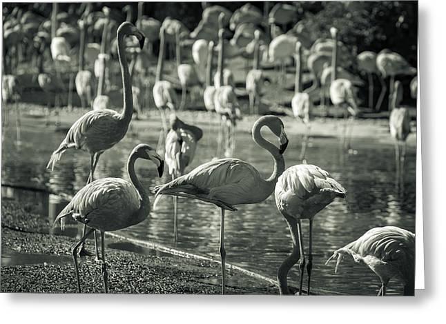 Flamboyance Of Flamingos Greeting Card